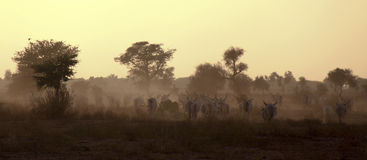 Cattle and Dust stock photos