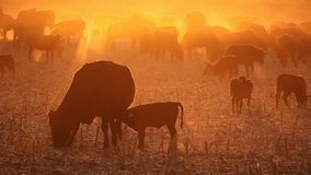 Cattle in dust at sunset - South Africa. Free-range cattle, including cows and calves, feeding on dusty field at sunset, South Africa stock footage