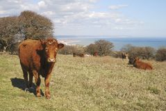 Cattle at Eastbourne. East Sussex. England Royalty Free Stock Photos