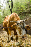 Cattle eat feed. In the afternoon, a cattle eat feed Royalty Free Stock Photography