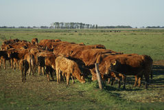 Cattle eating Royalty Free Stock Images