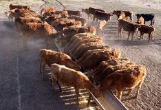 Cattle Eating Stock Images
