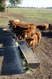 Cattle Eating Royalty Free Stock Image