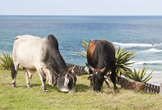 Cattle eating grass with ocean in background Stock Images