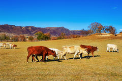 The cattle of eating grass Stock Photos