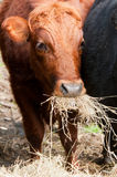 Cattle eating hay Stock Images