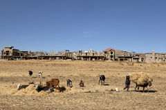 Cattle eating hay, Ethiopia Royalty Free Stock Image