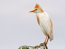 Cattle Egret #02 Royalty Free Stock Photos