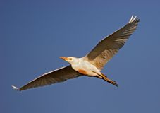 Cattle Egret #1 Stock Photos