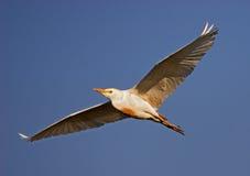 Cattle Egret #1 Stock Photos