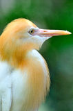 Cattle Egret 1 Stock Photography