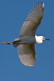 Cattle Egret. In flight on blue sky background Stock Photography