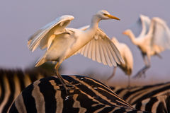 Cattle Egret. On the back of a Zebra with open wings Royalty Free Stock Photography