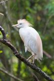 Cattle Egret. In a tree Royalty Free Stock Images