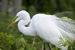 Cattle Egret stock image