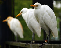 Cattle Egret. The three cattle egrets all seated in a line, gave me a chance to experiment the depth of field Royalty Free Stock Photography
