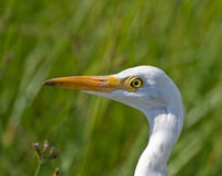 Cattle Egret. Looking for food in the long grass Stock Photos
