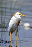 Cattle Egret. Standing in marsh water stock images
