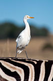 Cattle Egret. Royalty Free Stock Photo