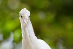 Cattle Egret. Portrait of a Cattle Egret Stock Images