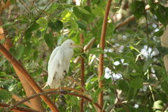 Cattle egret. Stand on tree Stock Photography
