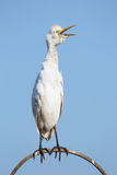 Cattle egret. Over clear sky Stock Photography