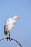 Cattle egret. Over clear sky Stock Image