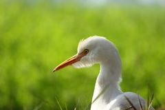 Cattle egret Royalty Free Stock Photos