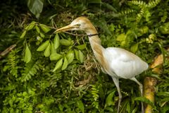 Cattle egret. Bringing a branch for building a nest Royalty Free Stock Photo