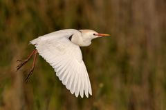 Cattle Egret Royalty Free Stock Photography