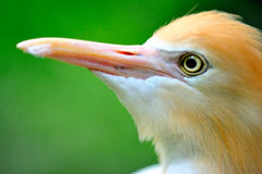 Cattle Egret 4 Stock Photos