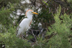 Free Cattle Egret Stock Images - 44370154