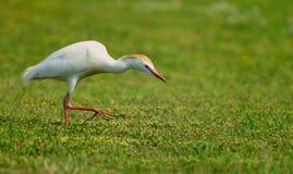 cattle egret Στοκ Εικόνες