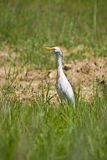 Cattle Egret. (Bubulcus ibis Royalty Free Stock Images