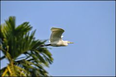 CATTLE EGRET IN ACTION royalty free stock images