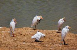 Cattle Egret. Royalty Free Stock Photos
