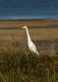 Cattle Egret. (Ardea ibis) feeding in grass beside the sea in Queensland Australia Stock Image