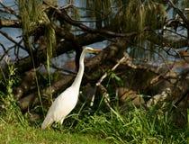 Cattle Egret. (Ardea ibis) feeding near Bargara Qld Stock Photography