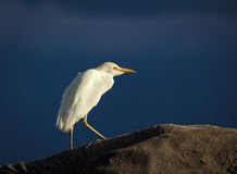 Cattle egret atop elephant Stock Images