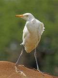 Cattle egret on back of rhino. Cattle egret standing on back of rhino royalty free stock photos