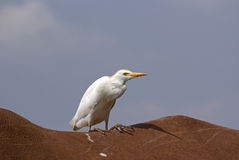 Cattle egret on back of thino. Cattle egret riding the rough back of an African white rhino Stock Image