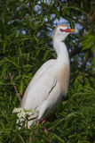 Cattle egret Royalty Free Stock Images