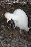 Cattle Egret Bird stock image