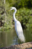Cattle Egret bird Royalty Free Stock Photography