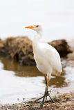 Cattle egret bird Bubulcus Ibis Stock Images