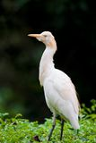 Cattle egret bird on bush Stock Image