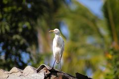 Cattle egret / Bird cattle egret royalty free stock photos