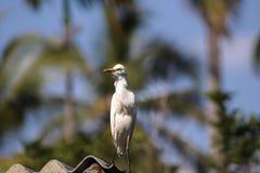 Cattle egret / Bird cattle egret Royalty Free Stock Photography