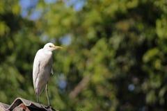 Cattle egret / Bird cattle egret Royalty Free Stock Photos
