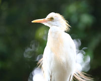 Cattle Egret Bird Royalty Free Stock Images